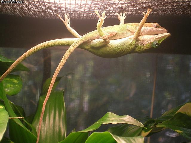 Chameleons At Play